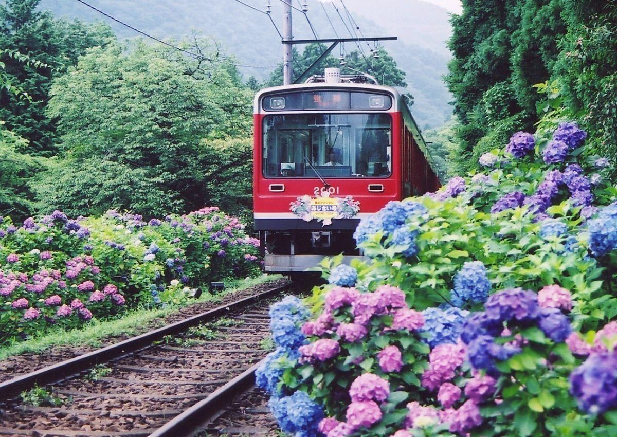 箱根あじさい電車のご紹介。