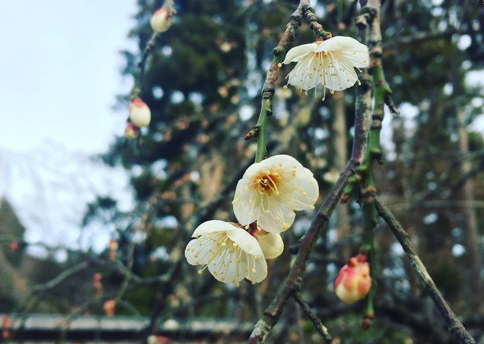 春の予感♪しだれ梅が咲き始めました。