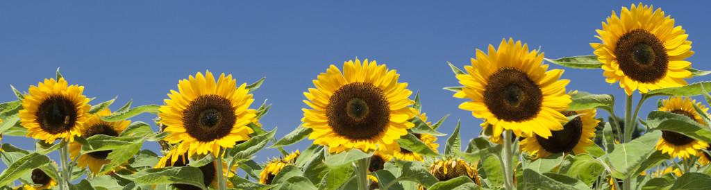main_sunflower