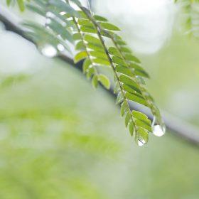 #No.68 #ネムノキ #雫 #箱根の自然
