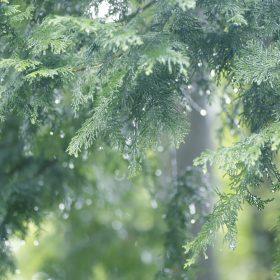 #No.48 #ヒノキ #雨の雫 #箱根の自然