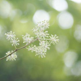 #No.58 #ヤツデの花 #箱根の自然