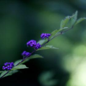 #No.18 #天悠 #庭園の紫式部